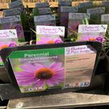 Echinacea purpurea 'Rubinstern' 1ltr
