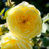 The Pilgrim - David Austin shrub / climbing rose