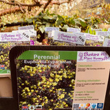 Euphorbia cyparissias 'Fens Ruby' 1ltr pot
