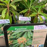 Euphorbia mellifera 1ltr pot
