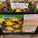 Euphorbia polychroma 'Bonfire' 1ltr pot