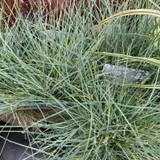 Festuca glauca 'Elijah Blue' (Grass) 1ltr pot