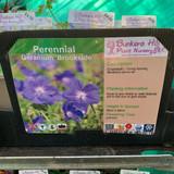 Geranium 'Brookside' 1ltr