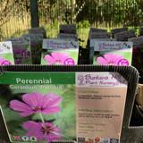 Geranium 'Patricia' 1ltr