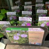 Geranium versicolor 1ltr