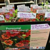 Helenium 'Strawberry Sundae' 1ltr pot