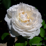 David Austin Rose Winchester Cathedral