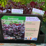 Heuchera 'Dark Secret' 1ltr pot