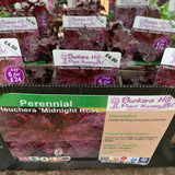 Heuchera 'Midnight Rose' 1ltr pot