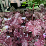 Heuchera 'Obsidian' 1ltr pot