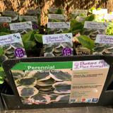 Hosta 'Brim Cup' 1ltr Pot