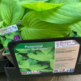 Hosta 'Guacamole' 1ltr pot