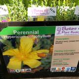 Hypericum polyphyllum (St John's Wort) 1ltr pot