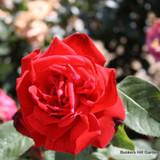 Ruby Wedding - Hybrid tea standard rose