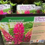 Lupin 'Gallery Pink' (Lupinus) 1ltr pot