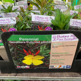 Oenothera fruticosa glauca (Evening Primrose) 1ltr pot