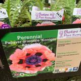 Papaver Orientale 'Konigin Alexandra' (Oriental Poppy) 1ltr pot
