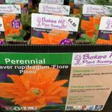 Papaver rupifragum 'Flore Pleno' 1ltr pot