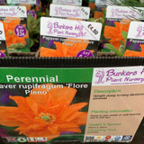 Papaver rupifragum 'Florentine's Pleno' (Spanish Poppy) 1ltr pot