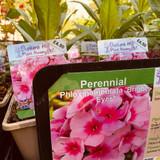 Phlox paniculata 'Bright eyes' 1ltr pot