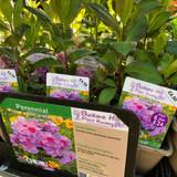 Phlox paniculata 'Eva Cullum' 1ltr pot