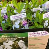 Phlox paniculata 'White Admiral' 1ltr pot
