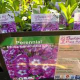Phlox paniculata Laura 1ltr pot