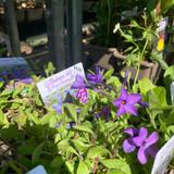 Phlox stolonifera 'Purpurea' 1ltr pot