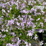 Phlox subulata Emerald Blue 1ltr pot