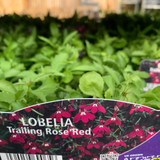 Lobelia trailing 'Rose Red' - pack of 6 plants