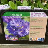 Primula denticulata lilac 1ltr