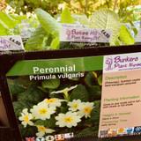 Primula vulgaris 1ltr