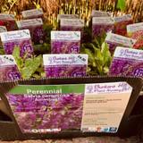 Salvia nemerosa 'Amethyst' 1ltr
