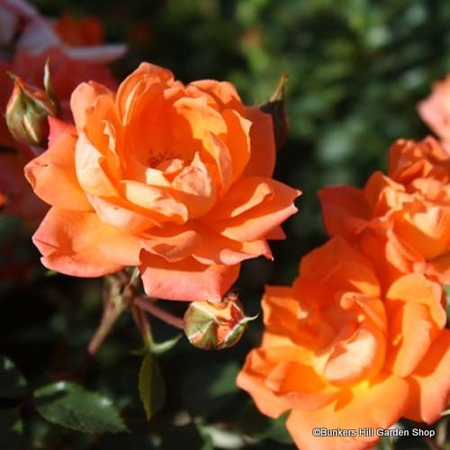 Ginger Nut - Patio rose