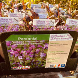 Verbena officials var. grandiflora 'Bampton' 1ltr