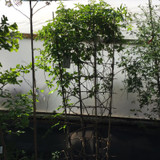 Parthenocissus quinquefolia (Virginia Creeper) - 6-7ft tall on trellis
