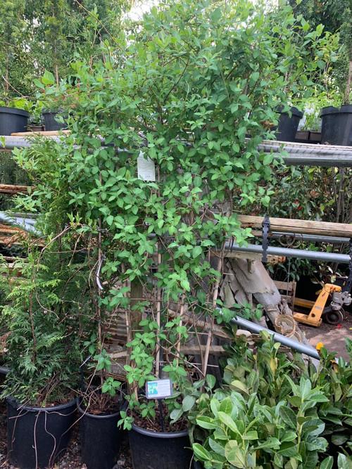 2L Pots 2-3ft Tall Lonicera periclymenum Serotina 1 Serotina Honeysuckle