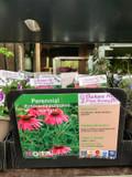 Echinacea purpurea 'Starlight' 1ltr