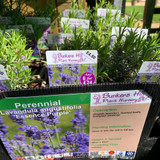 Lavender 'Essence Purple' (Lavandula angustifolia) 1ltr