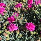 Dianthus Scent First 'Tickled Pink' 1ltr