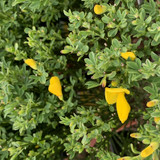 Cytisus 'Vanesse' (broom) 1.4 litre pot