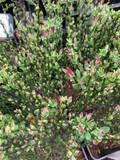 Cytisus 'Lena' (broom) 1.4 litre pot