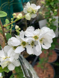 Exochorda niagara (2ft tall - 4L deep pot)