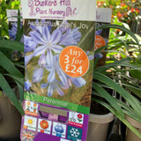 Agapanthus Ethel's Joy 3ltr pot
