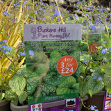 Brunnera macrophylla 'Alexanders Great' 3ltr pot
