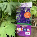 Delphinium Millennium 'Pagan Purple' 3ltr pot