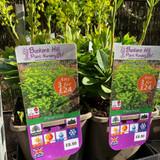 Euphorbia amygaloides 'Robbiae' 3ltr pot