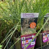 Stipa gigantea (Grass) 3ltr pot