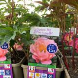 Peony lactiflora 'Coral Sunset' (Peonia) 3ltr pot