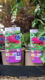 Peony lactiflora 'Karl Rosenfield' (Peonia) 3ltr pot